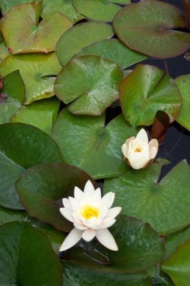 Bergen lilypad